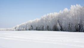 积雪的桦树森林在冬天 免版税库存照片