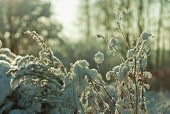 积雪的植物在冬天 图库摄影
