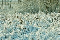 积雪的植物在冬天 免版税库存照片