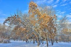 积雪的槭树& x28; Acer negundo& x29;金黄种子 库存图片