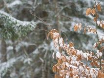 积雪的橙色桤木叶子和云杉的树枝的关闭 免版税库存图片