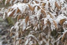 积雪的橙色桤木的关闭留下降雪冬天backgr 免版税库存照片