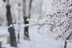 积雪的欧洲花楸 库存照片