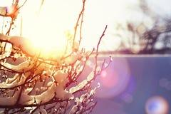 积雪的灌木在圣诞节下的冬天早晨 图库摄影