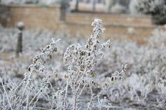 积雪的玫瑰色灌木 免版税库存照片