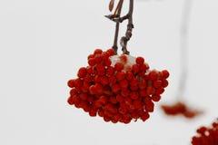 积雪的红色花揪束 关闭 免版税库存照片