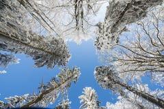 积雪的结构树和蓝天 免版税库存图片