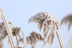 积雪的芦苇 库存图片