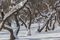 积雪的苹果树在果树园,关闭 免版税图库摄影