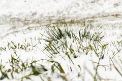 积雪的草特写镜头 库存图片
