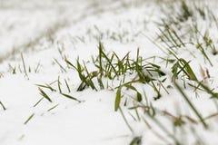 积雪的草特写镜头 免版税图库摄影