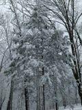 积雪的雪松 库存图片
