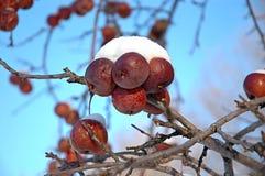 积雪的Crabapples 免版税库存照片