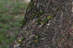 称树的绿色乳草蝗虫群Phymateus leprosus 图库摄影