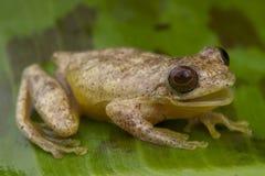 称青蛙周详结构树 免版税库存图片