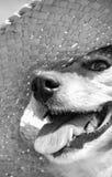 戴秸杆太阳帽子的爱犬的灰色被定调子的图象在海滩 免版税库存照片