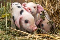 秸杆的牛津桑迪和黑小猪 库存照片
