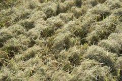 秸杆细节收获的和打谷的米在意大利 免版税图库摄影