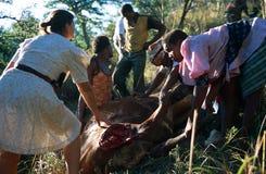 移动一头停止的母牛的妇女和人在南非 免版税库存图片