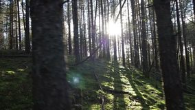 移动上升在太阳Pov射击对面的深杉木云杉森林里 影视素材