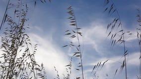 移动与风的草在与太阳的日落在与徒升作用的背景中 股票视频