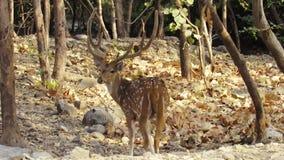移动在森林里的印度鹿或chital鹿牧群在早晨时间 股票录像