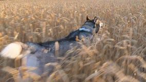 移动式摄影车射击了快速地跑在高小尖峰中的西伯利亚爱斯基摩人狗在日落的草甸 跑步幼小的家畜  影视素材