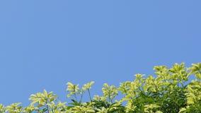 移动式摄影车被射击树梢和天空蔚蓝 股票视频