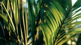 移动沿风的棕榈树的叶子在晚上 股票视频
