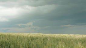 移动由微风风,小尖峰的领域在多云雨天空的背景的,美丽的自然la的麦子的金黄成熟耳朵 股票录像