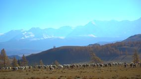 移动的绵羊大群,跑在山环境美化 自然牧场地农村肉羊毛羊羔农业的村庄 股票录像