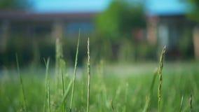 移动草的绿色小尖峰的轻风在草甸中的一个草甸,通过的汽车  股票录像