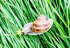 移动草的蜗牛 库存图片