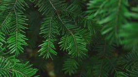 移动风、颜色被分级和特写镜头细节的绿色杉树brach 股票视频