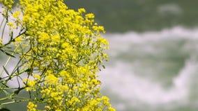 移动风的黄色花 股票视频