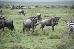 移居在非洲的塞伦盖蒂的巨大迁移时的角马 库存图片