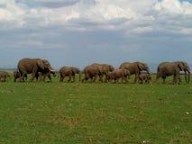 移居通过非洲在斯瓦希里人语言的SavannaLoxodonta Africana Ndovu或Tembo的非洲大象 免版税库存图片