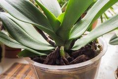 移植兰花 健康植物根 兰花健康根  库存照片