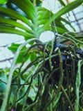 移植兰花 健康植物根 兰花健康根  库存图片