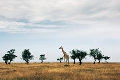 稀稀落落的树在干大草原 图库摄影