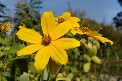 稀薄有叶的向日葵 免版税库存照片