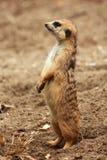 稀薄的尾巴猫鼬 免版税库存图片