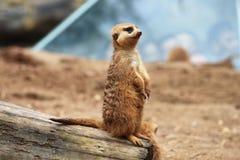 稀薄的尾巴猫鼬 库存图片