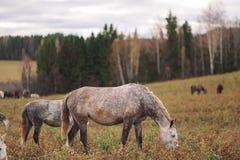 稀薄的马牧群  库存照片
