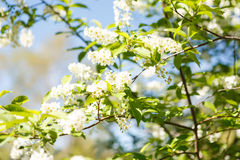 稠李分支在一个晴朗的春日 库存照片