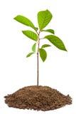 稠李绿色树苗结构树 免版税库存图片