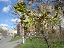 年轻稠粘的叶蕾和柔荑花 免版税库存照片