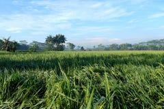 稻在乡下有蓝天背景 库存照片