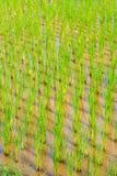 稻在泰国 库存照片