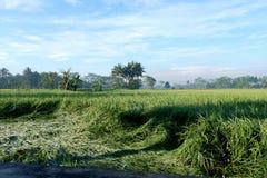 稻植物有在乡下的山背景 免版税库存图片